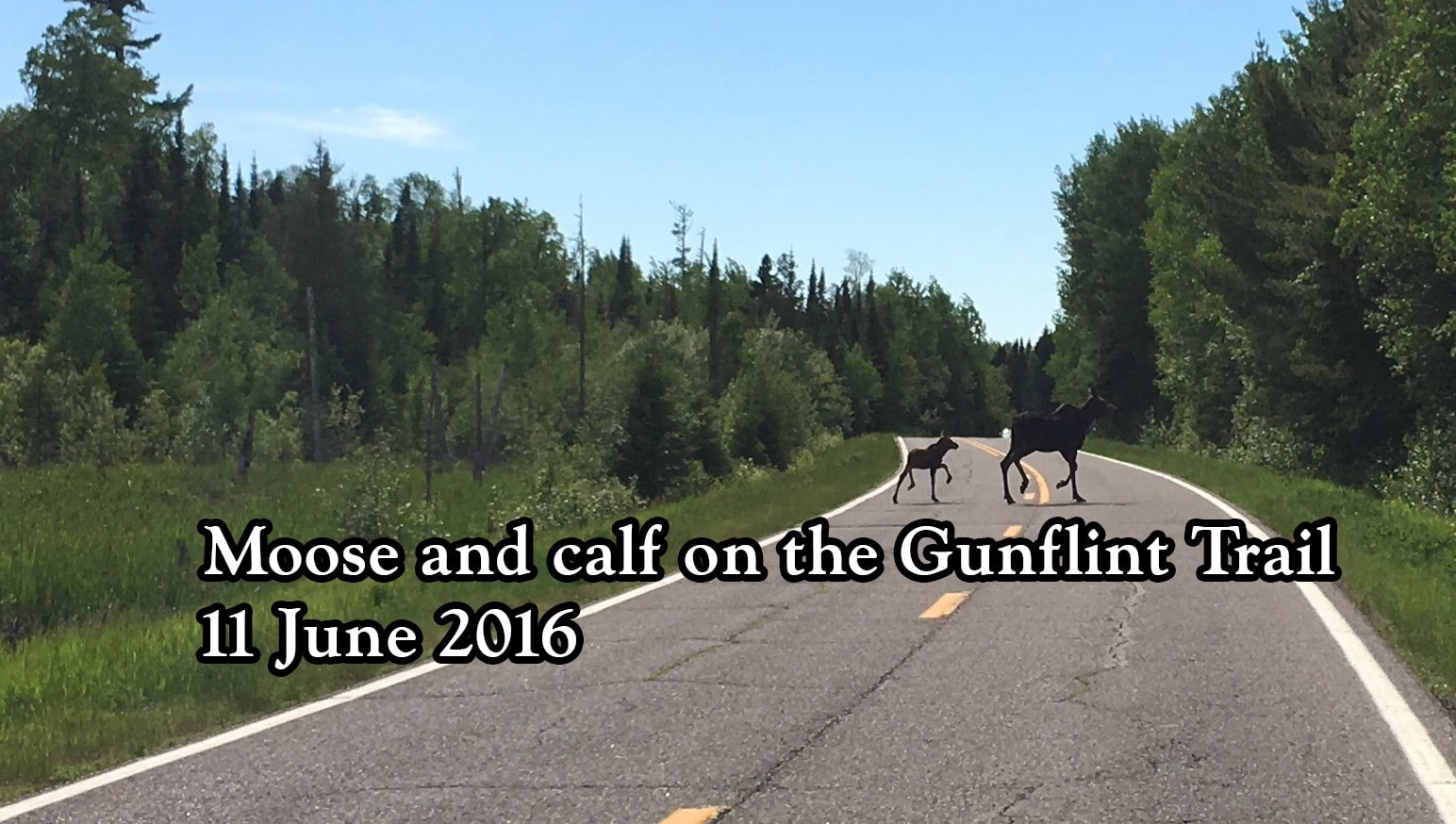 Moose and calf on Gunflint Trail